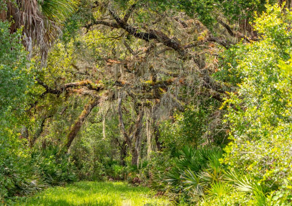 Jelks Preserve Oak Trees